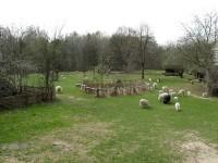 Schafe auf dem Dorfplatz