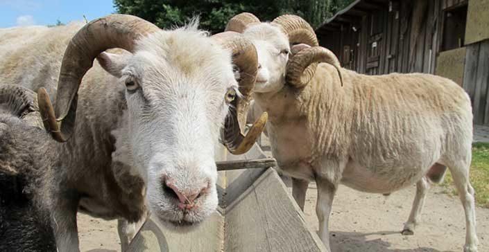 Schafe, Ochsen, Schweine - Unser liebes Vieh