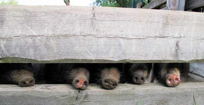 Neugierige Schweinenasen