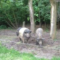 Schweine im Wald