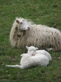 Lämmer mit Mutter